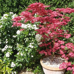 Acer in pot with Choysia ternata in background