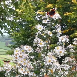 Aster-with-butterflies-in-Powys-e1479737765780
