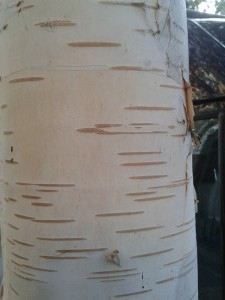 Betula utilis street tree Kings Rd TW1