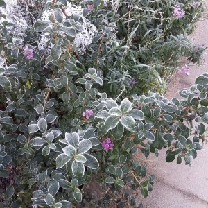 Escallonia and Erysimum Bowles's Mauve with frost