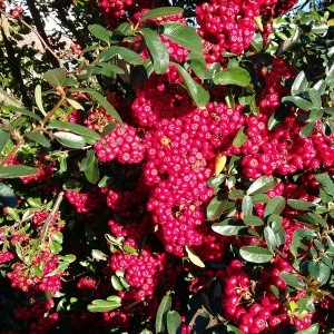 Pyracantha Red Column